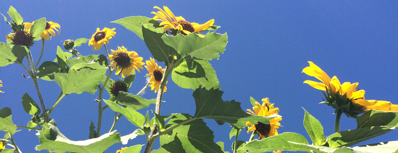 Sunflowers778x300